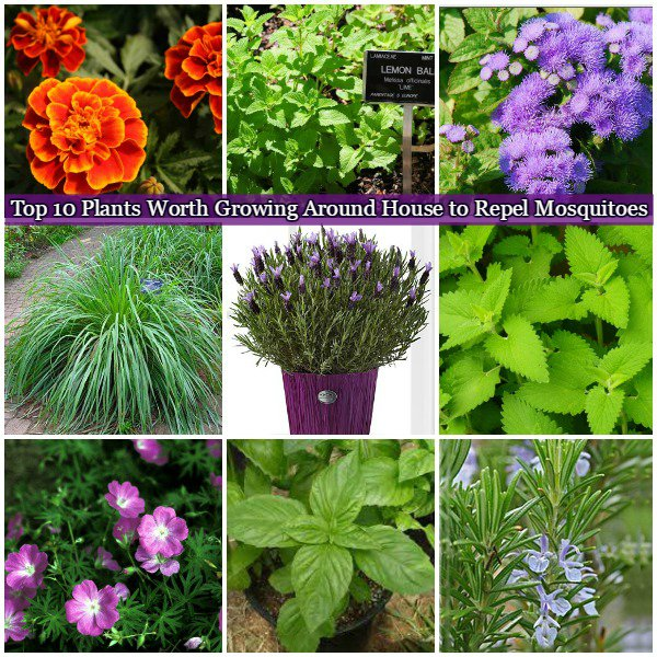 10 plants worth growing around house to repel mosquitoes for Best plants to keep mosquitoes away