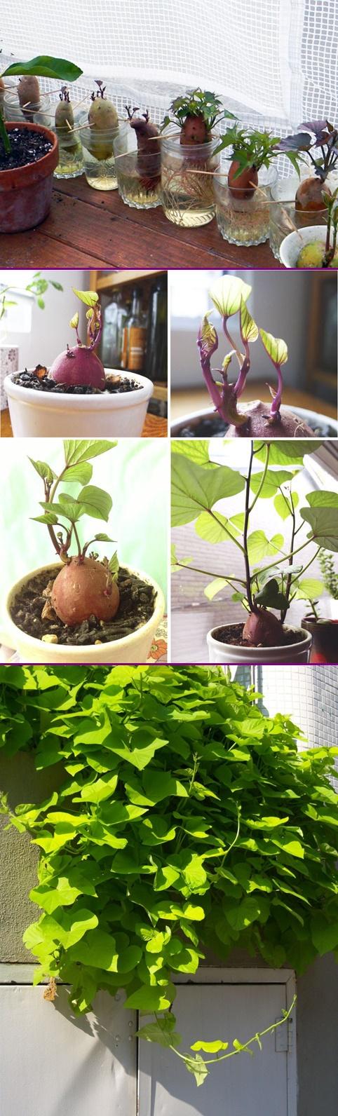 How to Grow Sweet Potato Vine Plant