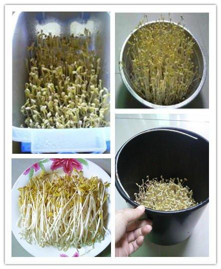 diy-green-bean-sprout02.jpg