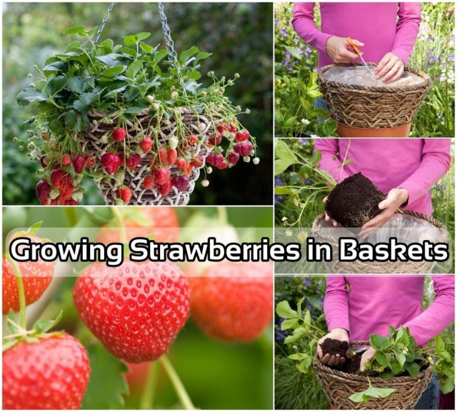 How To Grow Strawberries In Hanging Basket