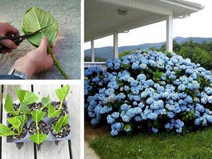 Check out the Tutorial for growing your very own Hydrangeas.