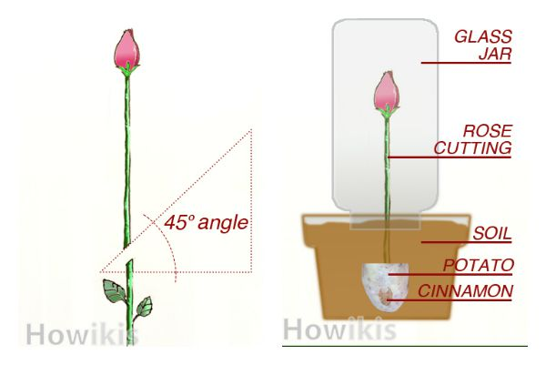 Great Tip on How to Grow Rose from Cutting Easily