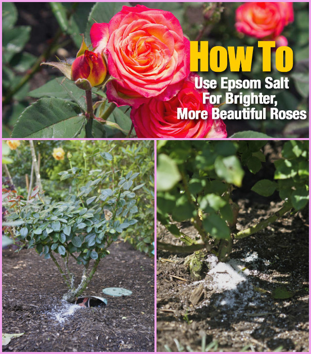 Grow Rose from Cutting in Potatoes Tutorial - Gardening Tips