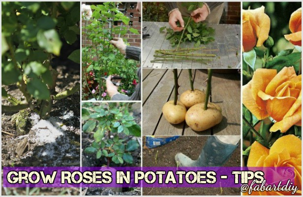 How to Grow Rose from Cutting in potatoes Easily- Video