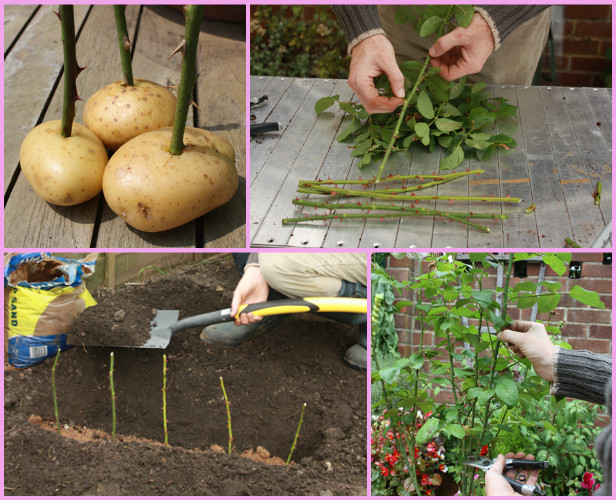 Gardening tip: Grow Rose from Cutting in potatoes Easily tutorial - video