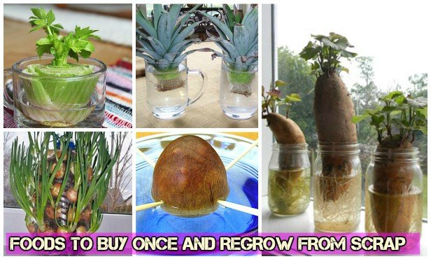 Foods To Buy Once And Regrow from Scraps