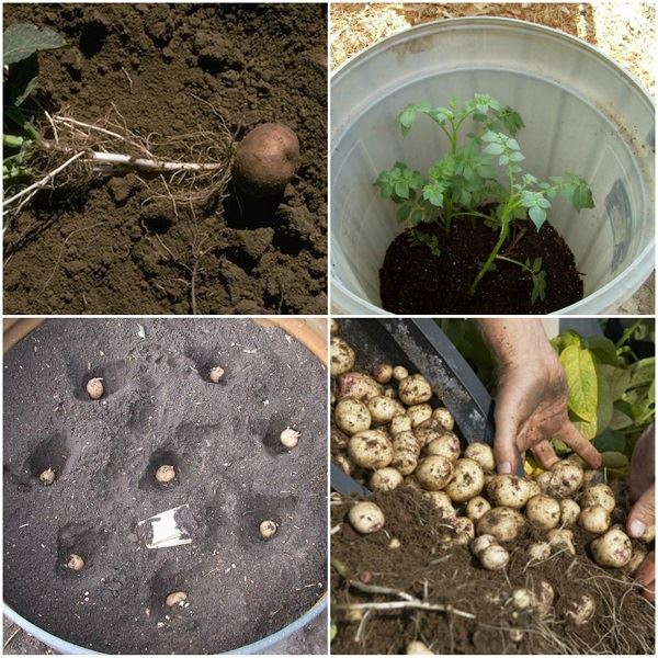 4 Simple Steps To Grow 100 Pounds Of Potatoes In A Barrel
