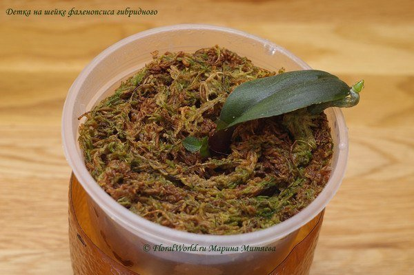 How to Propagate Phalaenopsis Orchid7