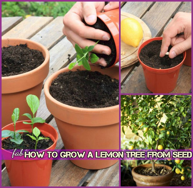 How To Grow Lemon Tree From Seed Tutorial-Repot Lemon Seedling
