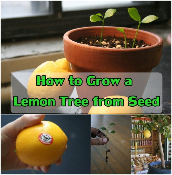 FabArtDIY How To Grow a Lemon Tree From Seed