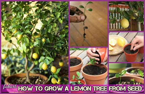 How To Grow Lemon Tree From Seed Tutorial-Video