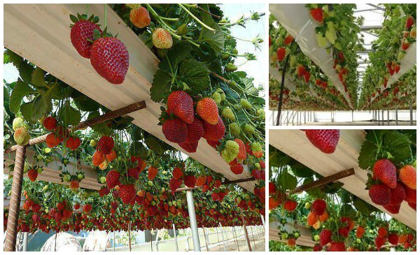 How To Grow Strawberries In Rain Gutter Planters Video