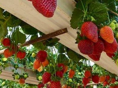 How to Grow Strawberries In Rain Gutter Planters - How To Grow Tomatoes Upside Down (Video)