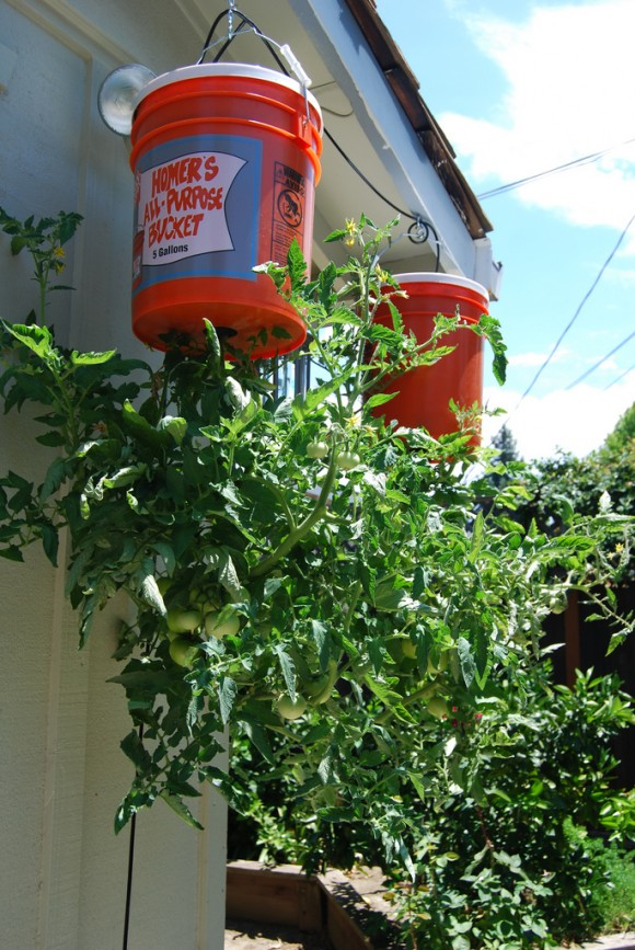 How to Grow Tomatoes Upside Down3
