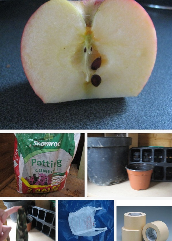 How to grow Apple trees from seed instruction