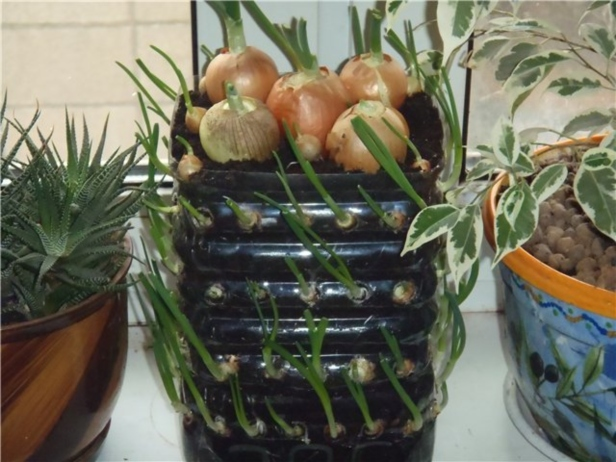 How to Grow Onions Vertically in Plastic Bottle On The Windowsill