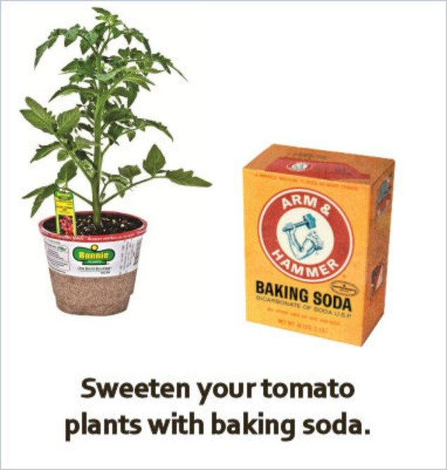 10 Amazing Baking Soda Uses in Garden -Sweeten Tomatoes