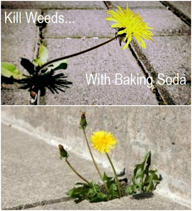 10 Amazing Baking Soda Uses in Garden-Kill Weeds With Baking Soda