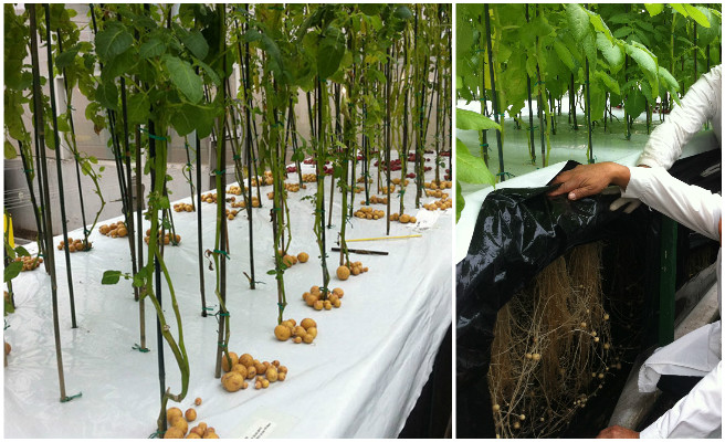 Aeroponic Technology Grow Potatoes In Air Without Soil