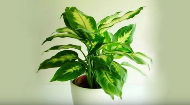 Easy Care Plants to Improve Indoor Room Air Quality-Chinese evergreen