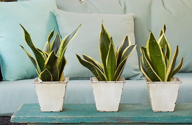 Easy Care Plants to Improve Indoor Room Air Quality-Snake Plant