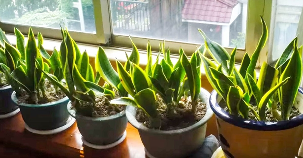 Easy care indoor plants to improve indoor room air quality for Easy care large indoor plants