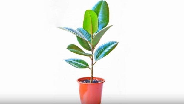 Easy Care Plants to Improve Indoor Room Air Quality-baby rubber plants