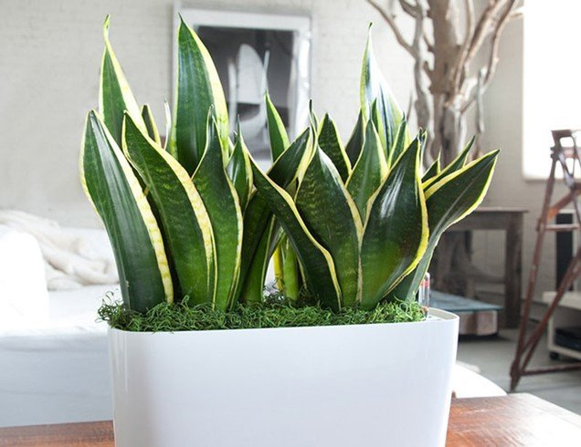 Best Plants for Bedroom to Help Snake Plants