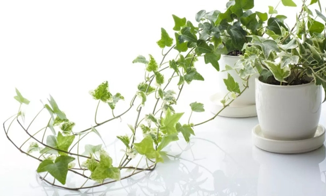 Best Plants for Bedroom to Help You Sleep Better - English Ivy