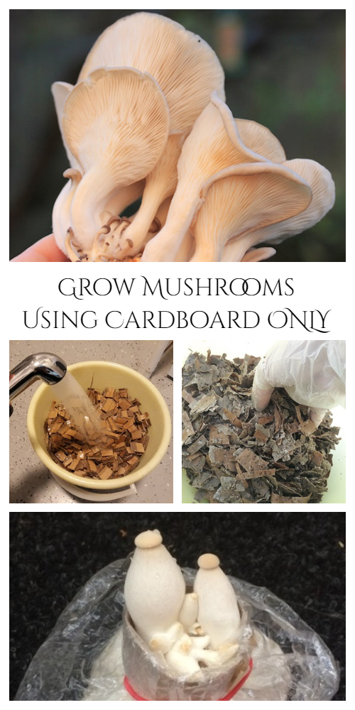 How to Grow Mushrooms Using Cardboard ONLY Tutorial