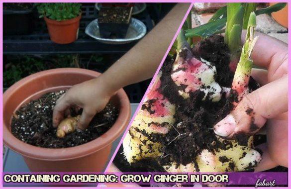 DIY Container Gardening How to Grow Ginger In Door (Video)