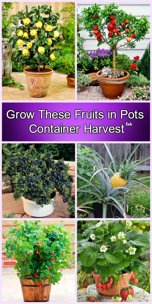 10 More Best Fruits To Grow In Pots