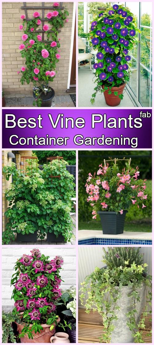 Best Vine Plants for Container Gardening