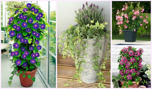 Best Vine Plants for Container Gardening