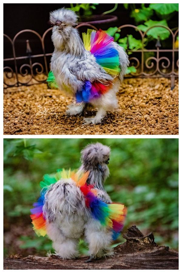 Rainbow Chicken Tutu to Entertain Your Chickens