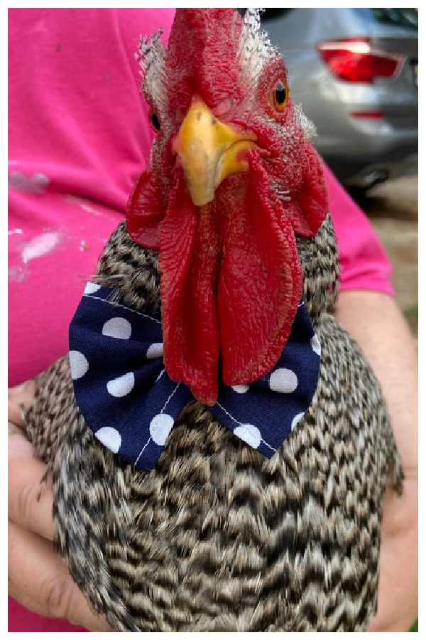 Rooster Bowtie to Dress Up and Entertain Your Chickens